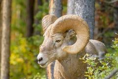 Ciérrese para arriba de ovejas de carnero con grandes cuernos en un ambiente del bosque imagen de archivo libre de regalías