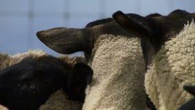 Ciérrese para arriba de ovejas en la consumición de Nueva Zelanda almacen de video