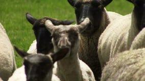 Ciérrese para arriba de ovejas en Nueva Zelanda que es reunido por el perro metrajes