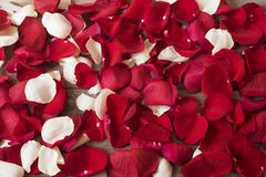 Ciérrese para arriba de pétalos color de rosa rojos y blancos en fondo de madera Fondo floral Fotografía de la acción de la rosa  Fotografía de archivo