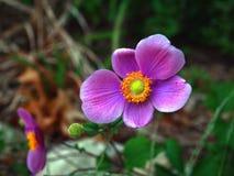 Ciérrese para arriba de púrpura Foto de archivo libre de regalías
