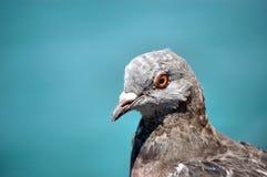 Ciérrese para arriba de paloma Imagenes de archivo