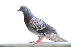 Ciérrese para arriba de paloma Fotos de archivo