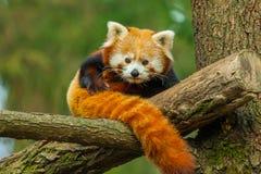 Ciérrese para arriba de panda roja Fotografía de archivo libre de regalías