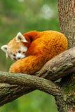 Ciérrese para arriba de panda roja Foto de archivo libre de regalías