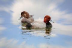 Ciérrese para arriba de pares de los patos del pelirrojo fotos de archivo