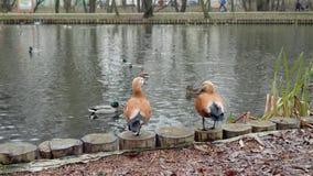 Ciérrese para arriba de patos en la charca del parque de la ciudad en otoño