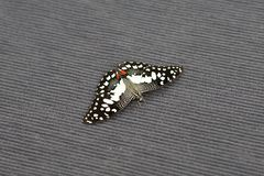 Ciérrese para arriba de pequeña mariposa de la cal en la alfombra imagen de archivo libre de regalías