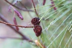Ciérrese para arriba de 2 pequeños conos del pino en árbol de pino durante la lluvia cerca de Hinckley Minnesota fotos de archivo libres de regalías