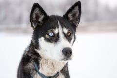 Ciérrese para arriba de perro con diversos ojos del color Imagenes de archivo