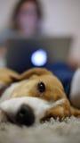 Ciérrese para arriba de perro del beagle Imagenes de archivo