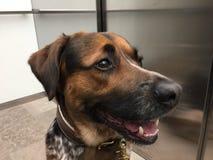 Ciérrese para arriba de perro mezclado de la raza en elevador foto de archivo libre de regalías