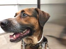 Ciérrese para arriba de perro mezclado de la raza en elevador imágenes de archivo libres de regalías