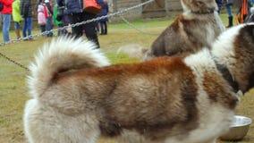 Ciérrese para arriba de perros fornidos del trineo en el parque Cámara lenta almacen de metraje de vídeo