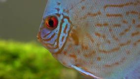 Ciérrese para arriba de pescados rojos azules del disco en un acuario de agua dulce en las burbujas blury fondo, visto de lado almacen de video