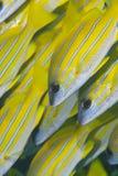 Ciérrese para arriba de pescados tropicales amarillos. Imagen de archivo