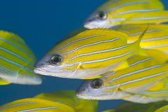 Ciérrese para arriba de pescados tropicales amarillos. Imágenes de archivo libres de regalías