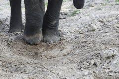 Ciérrese para arriba de pies del elefante en Dusty Sand foto de archivo libre de regalías