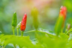 Ciérrese para arriba de pimientas rojas y verdes en árbol en el jardín de Tailandia Fotografía de archivo libre de regalías