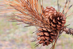 Ciérrese para arriba de pinecone y de agujas quemados Imagen de archivo