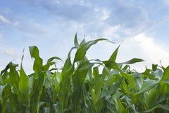 Ciérrese para arriba de plantas de maíz jovenes con el cielo y las nubes Fotografía de archivo