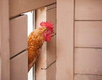 Ciérrese para arriba de pollo Imagen de archivo