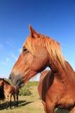 Ciérrese para arriba de pottok basque del caballo en montañas de la costa atlántica Imagen de archivo