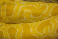 Ciérrese para arriba de Python tailandés de oro Imagen de archivo