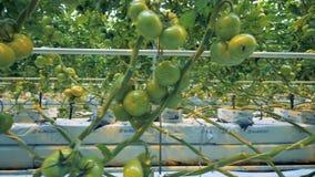 Ciérrese para arriba de racimos verdes múltiples del ` de los tomates al costado con el equipo del invernadero almacen de metraje de vídeo