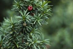 Ciérrese para arriba de rama de árbol del tejo Imagenes de archivo