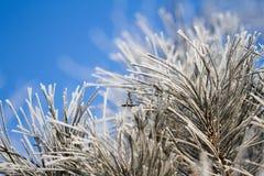 Ciérrese para arriba de ramas de árbol de abeto en invierno Imágenes de archivo libres de regalías