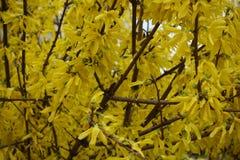 Ciérrese para arriba de ramas de la forsythia cubierta con las flores Fotos de archivo