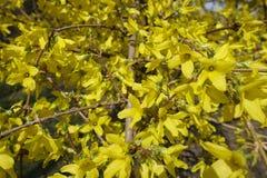 Ciérrese para arriba de ramas de los forsythis con las porciones de flores Foto de archivo