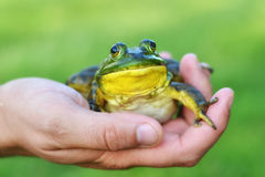 Ciérrese para arriba de rana en una mano Fotografía de archivo