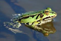 Ciérrese para arriba de rana verde Imagen de archivo libre de regalías