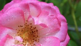 Ciérrese para arriba de rosa de apertura del rosa metrajes