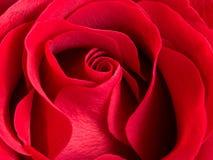 Ciérrese para arriba de rosa hermosa del rojo del terciopelo Imagen de archivo