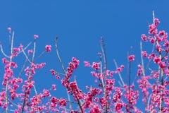 Ciérrese para arriba de Sakura Foto de archivo