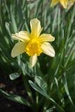 Ciérrese para arriba de solo narciso amarillo en parque de la primavera Fotografía de archivo