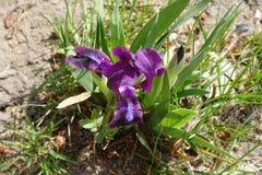 Ciérrese para arriba de tectorum floreciente del iris en primavera Imagenes de archivo