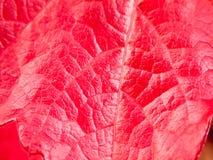 Ciérrese para arriba de textura roja de la hoja del otoño de la caída Foto de archivo libre de regalías