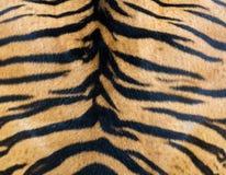 Ciérrese para arriba de Tiger Fur mullido brillante hermoso, Brown anaranjado colorido con la línea textura de la raya negra del  Fotos de archivo
