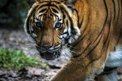 Ciérrese para arriba de tigre malayo salvaje felino grande con la piel hermosa de la raya foto de archivo