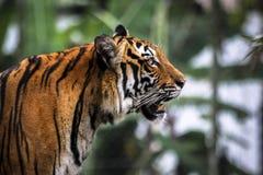 Ciérrese para arriba de tigre malayo salvaje felino grande con la piel hermosa de la raya imagen de archivo