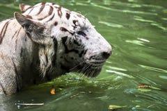 Ciérrese para arriba de tigre malayo salvaje felino grande con la piel hermosa de la raya imagen de archivo libre de regalías