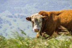 Ciérrese para arriba de toro grande del Simmental Fotografía de archivo