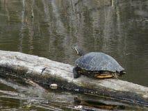 Ciérrese para arriba de tortuga en registro Fotos de archivo
