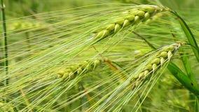 Ciérrese para arriba de trigo fresco del verde de la mañana en primavera almacen de metraje de vídeo