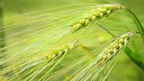 Ciérrese para arriba de trigo fresco del verde de la mañana en primavera almacen de video