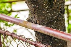 Ciérrese para arriba de tronco de un árbol dañado por la cerca del metal Fotos de archivo libres de regalías